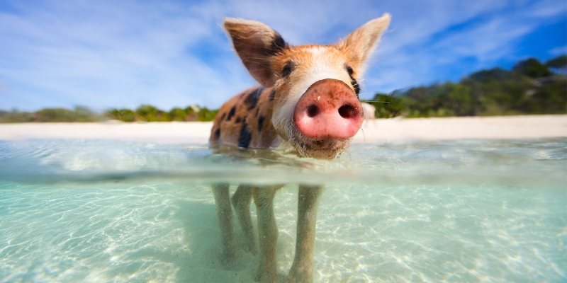 Pigs, The Bahamas