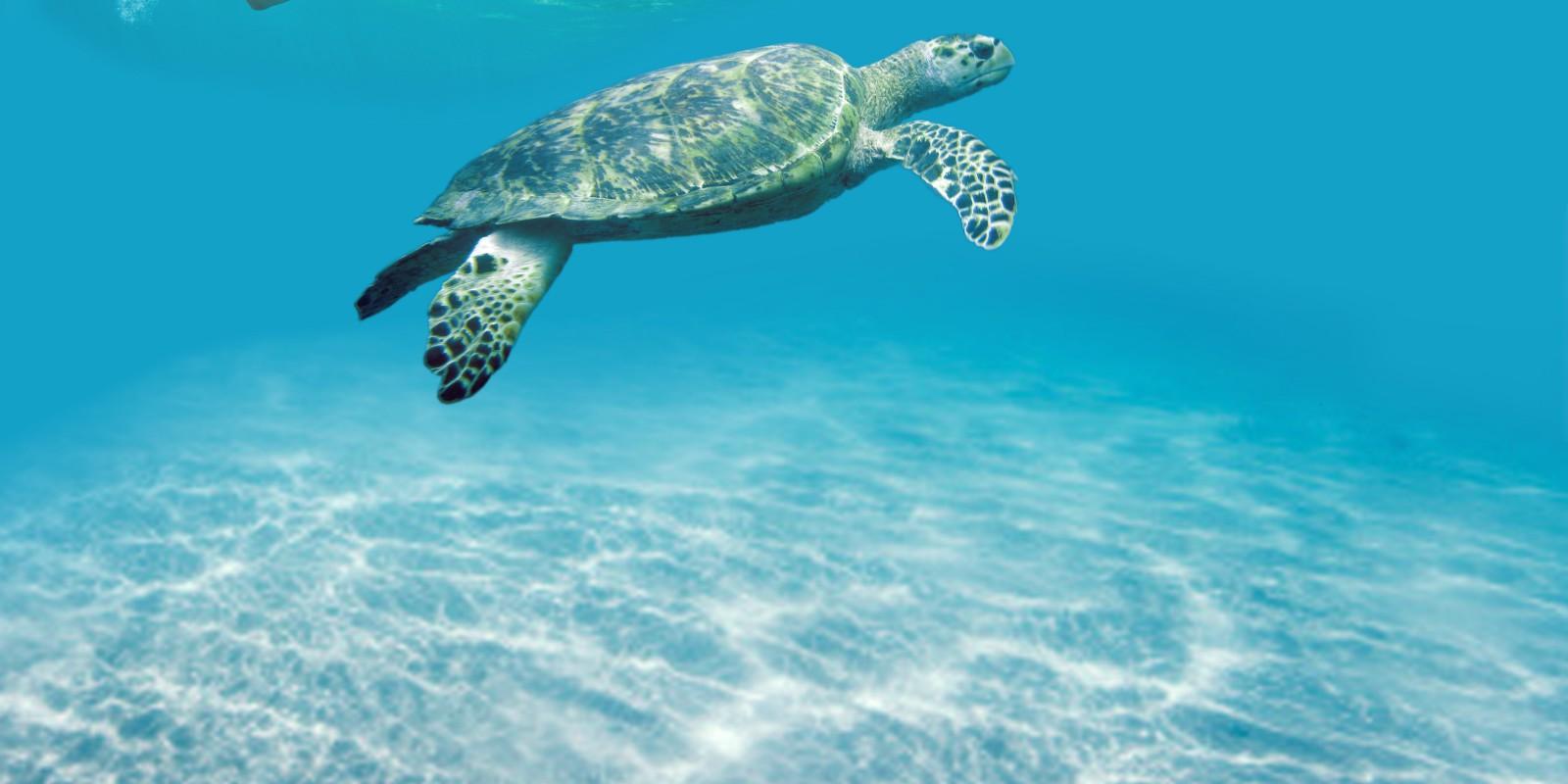 Tobago turtle