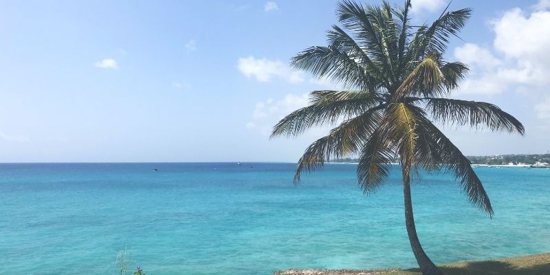 A palm tree on the coast of Barbados