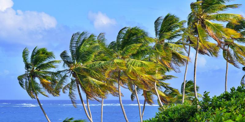 Coconut Trees in Barbados