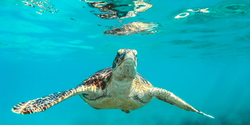 A turtle swimming in Speightstown, Barbados ocean.