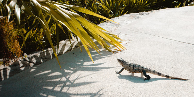 Iguanas can be found in Playa Mujeres