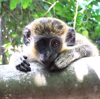 A green monkey in Barbados