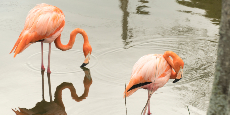 Did you know flamingos get their pink colour from their food