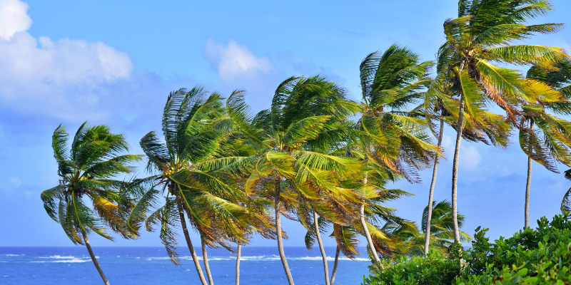 The swaying palm trees in Barbados