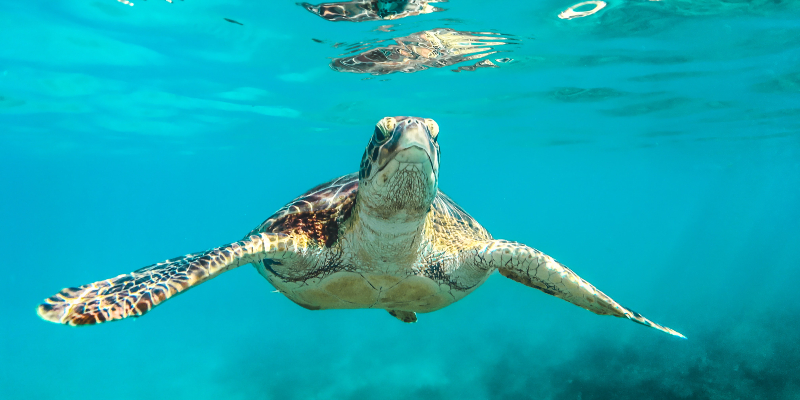 A turtle swimming in Barbados