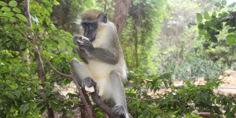 The green monkey can be seen in Barbados